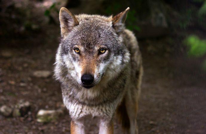 Parco del Ticino, torna il lupo, ma gli alieni spopolano