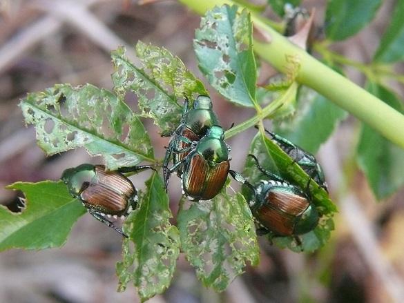 Cosa fare e non fare contro l'insetto alieno