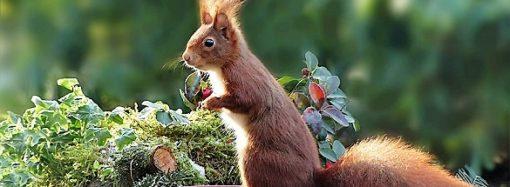 Ecco lo scoiattolo rosso, tesoro del Parco del Ticino